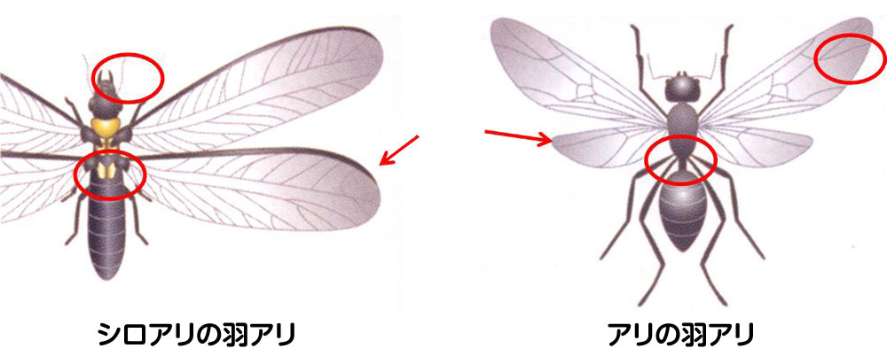 羽アリ(シロアリとアリ)の見分け方