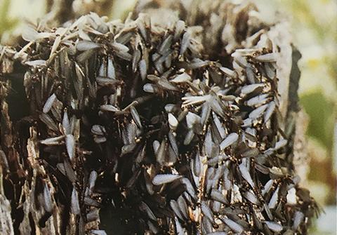 シロアリの羽アリ群集